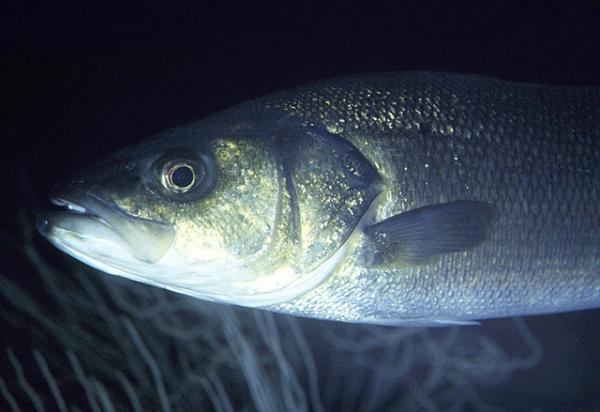 سمك القاروص / loup de mer 4_lavraki_F-208740160